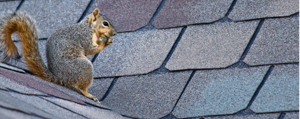 squirrel pest removal