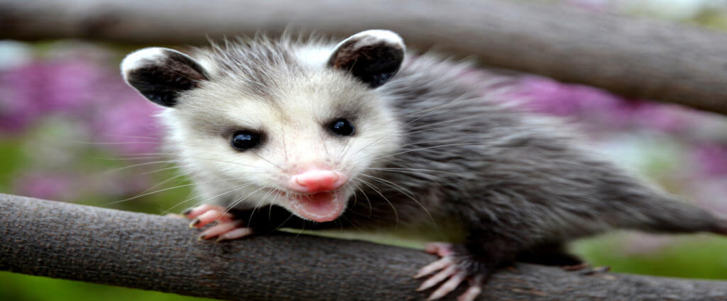 possum removal company